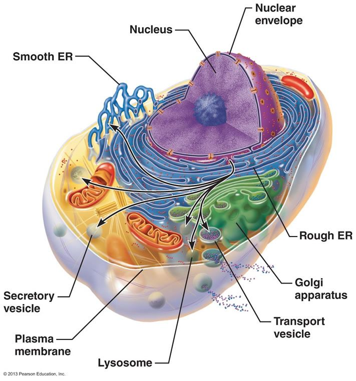 endomembrane system Intracellular interactions have you ever wondered how molecules travel inside a cell, or how separate membrane-bound organelles communicate with one another.