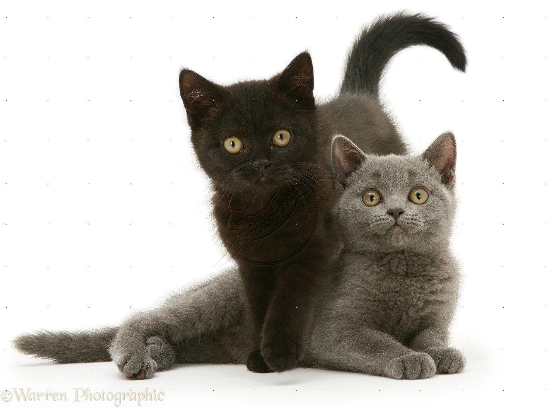 British Shorthair Blue And Black Kittens Photo British Shorthair Cats British Shorthair Kittens British Shorthair