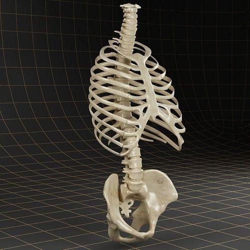 Anatomy skeleton pelvis spinal column ribs | 3D model | Pinterest ...