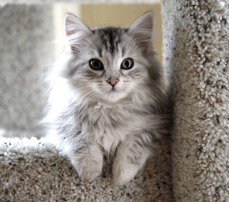 gato gris con blanco