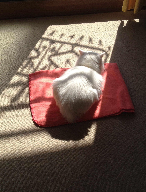 光の中でお昼寝 お昼寝 かわいい猫 昼寝