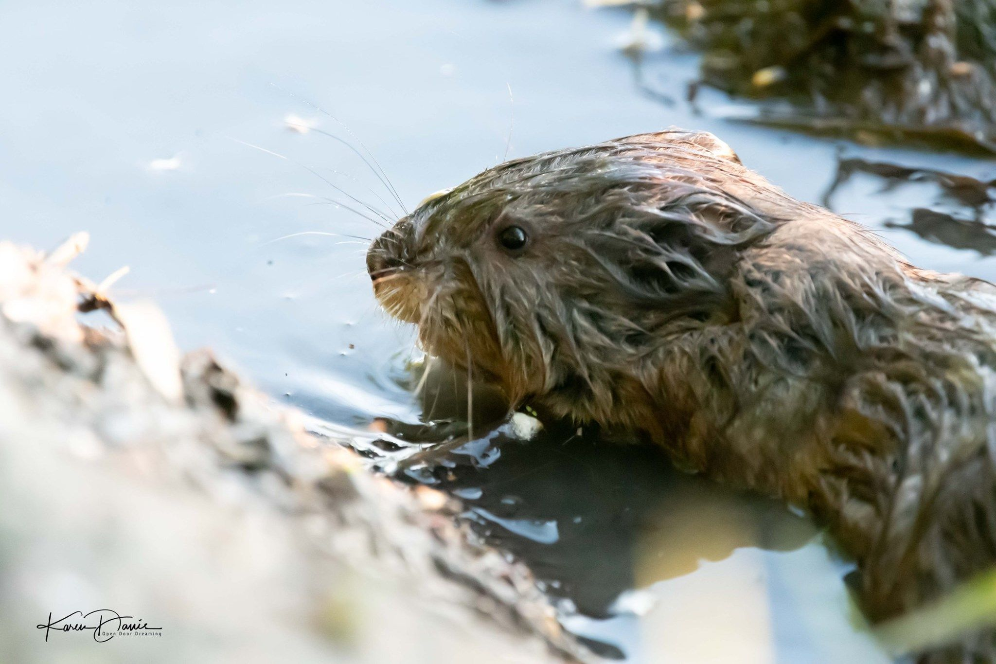 Muskrat I Think He S Adorable In 2020 Prey Animals Adorable