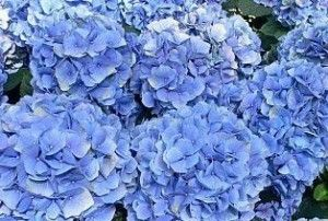 How to Grow Hydrangeas From Cuttings + How To Turn Pink Ones Blue And Keep Them Blue » The Homestead Survival