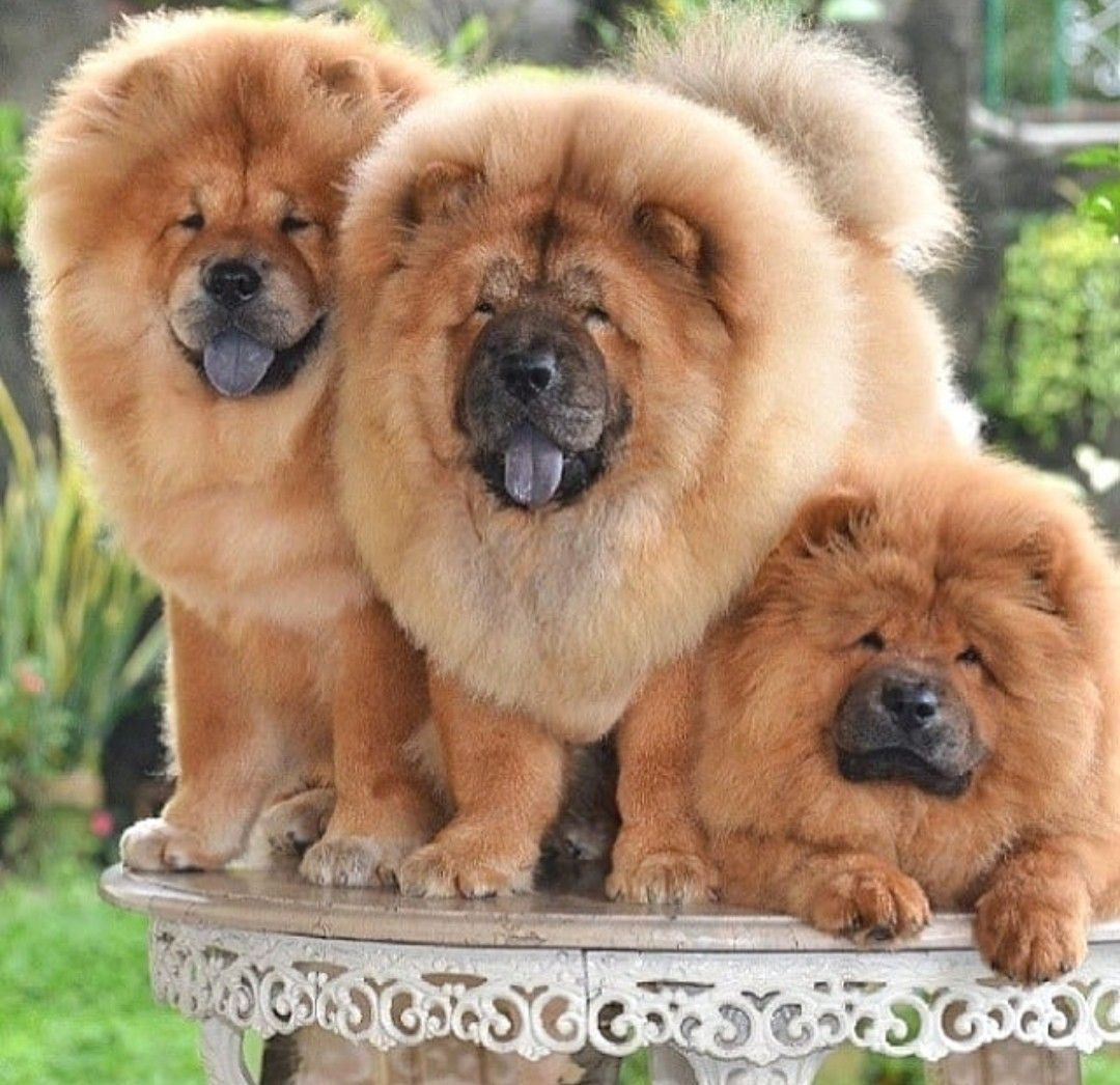 Chowchow Chow Chow Dogs Best Dogs For Families Chinese Dog
