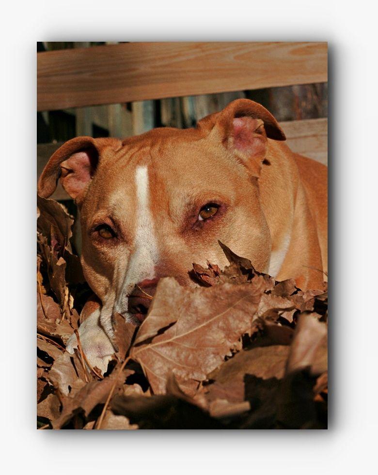 Pitbull Training Reasons Why You Should Train Your Pitbull Pitbull Training Pitbulls Pitbull Puppies