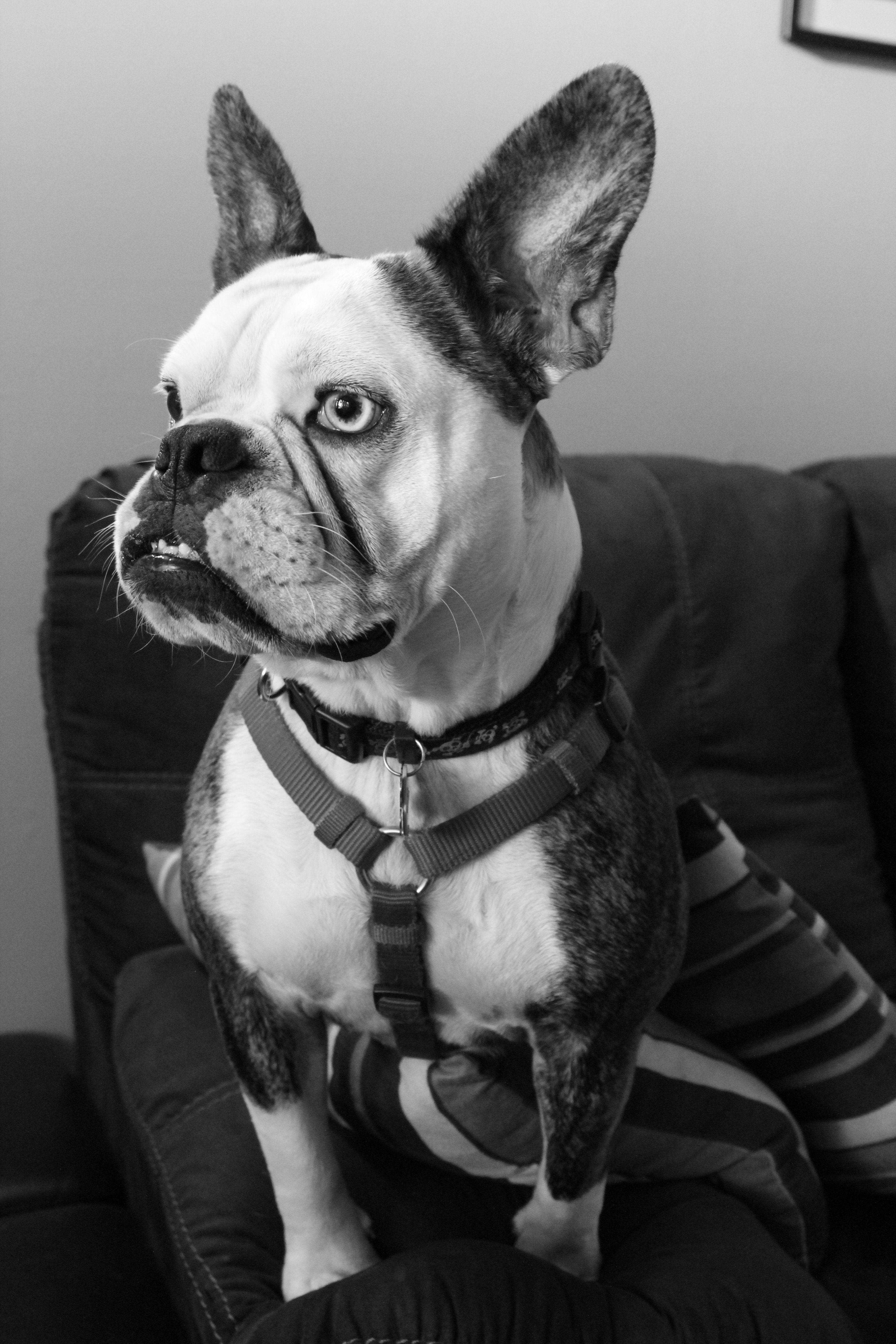 Our Free Lance Bulldog Lily Olde Engish French Bulldog