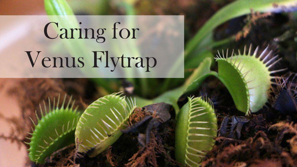 Houseplant Spotlight Venus Flytrap (With images) Venus