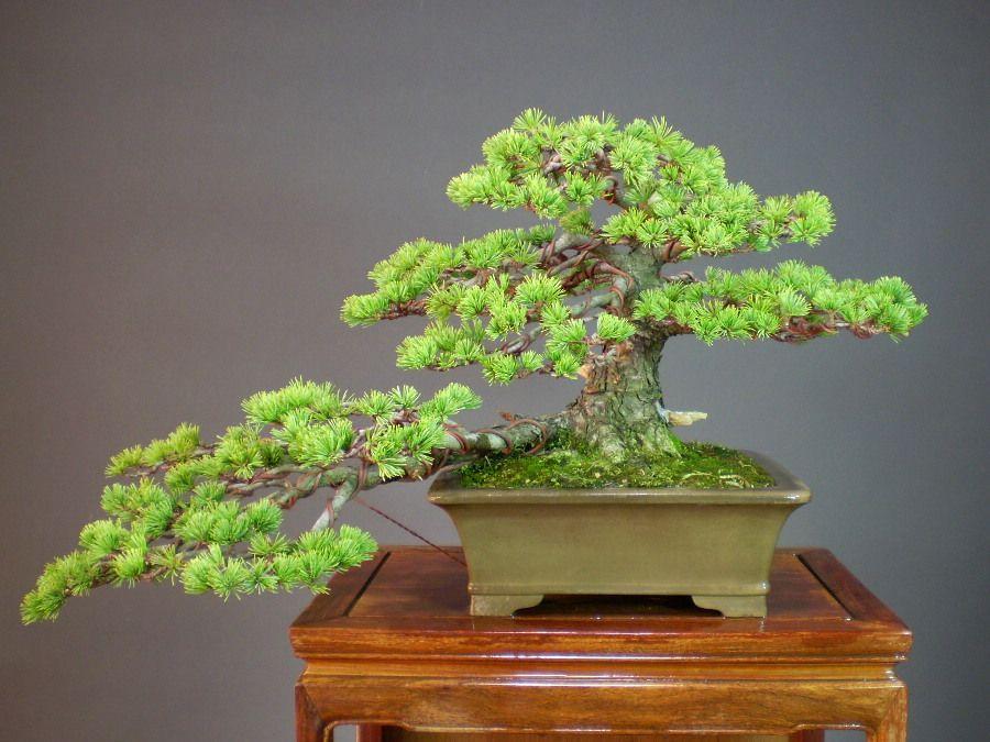 bonsai semicascada | 盆栽 販売通販 山太屋盆栽オンラインショップに ...