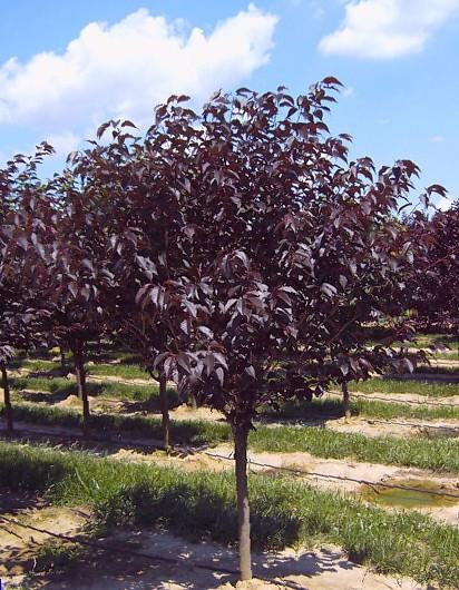 Prunus Serrulata Royal Burgundy Front Garden Design Prunus Serrulata Black Garden