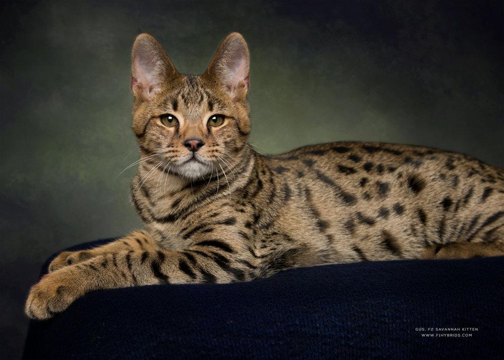 Savannah Cat Size Diet Temperament Price In 2020 Savannah Cat Savannah Kitten Savannah Chat