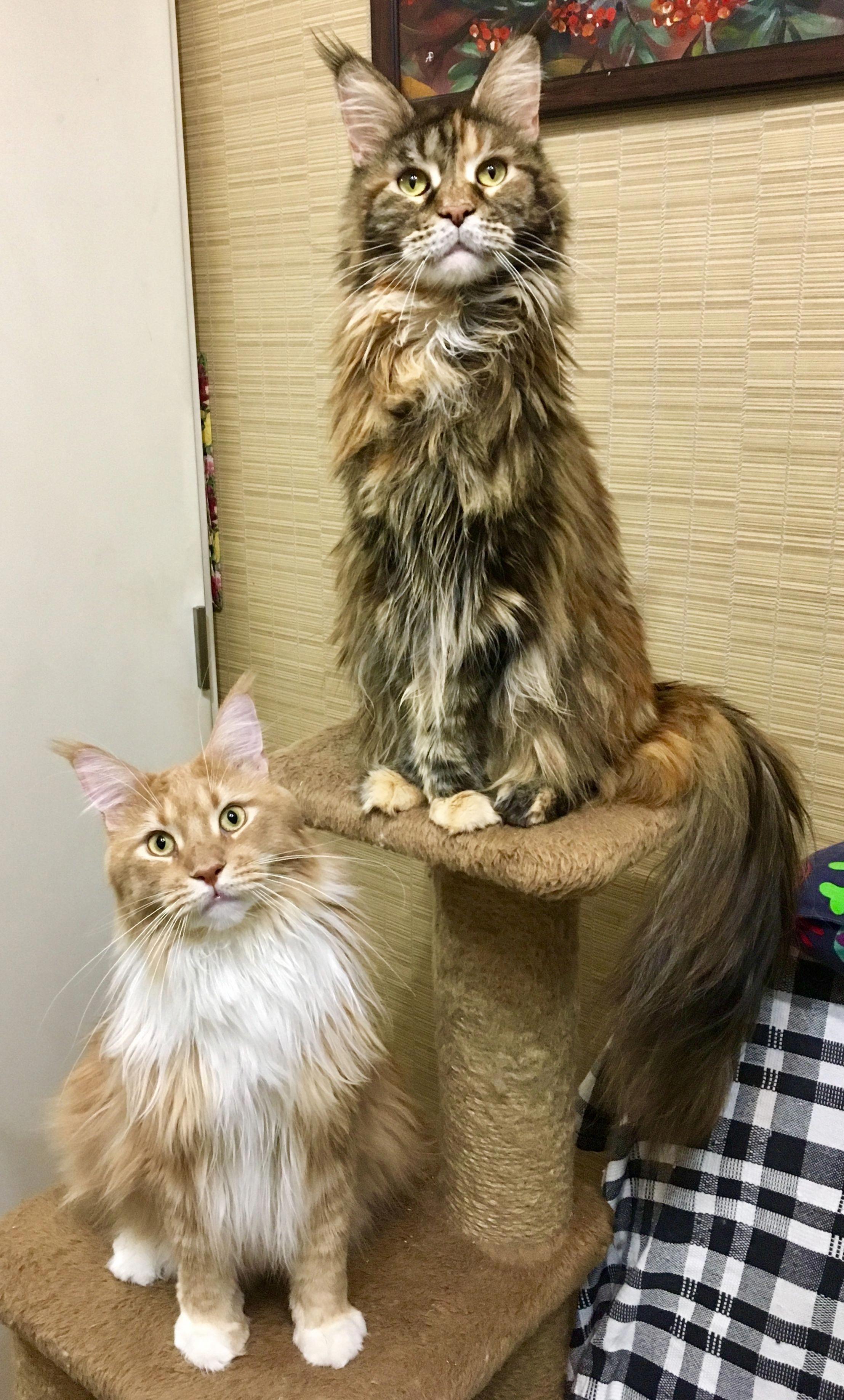 Siberian Forest Kittens For Sale Near Me