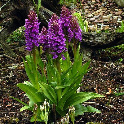 Photos Dactylorhiza purpurea - Keyflower
