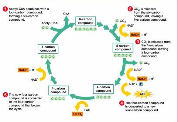 the krebs cycle essay Below is an essay on krebs cycle from anti essays, your source for research papers, essays, and term paper examples the krebs cycle occurs inside the mitochondria with the presence of oxygen, consisting of multiple reactions that produces the final product at the end of the krebs cycle.