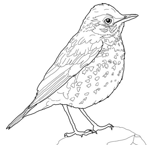Wood Thrush Bird Coloring Page From Category Select