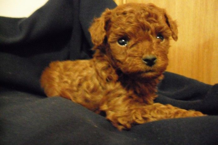 Image Detail For Dark Red Toy Poodle Puppies For Sale In