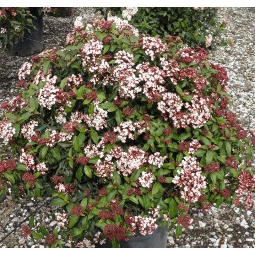 Picture of Live Laurustinus aka Viburnum tinus 'Spring Bouquet Shrubs Plant Fit 5 Gallon Pot