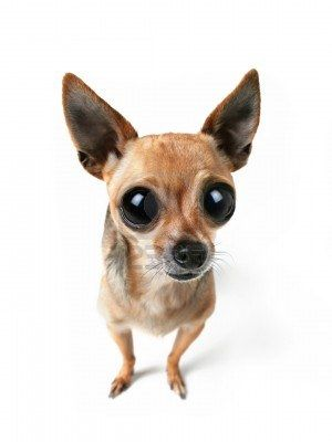 Big Eyes Cute Dog Photos Cute Dogs Cute Chihuahua