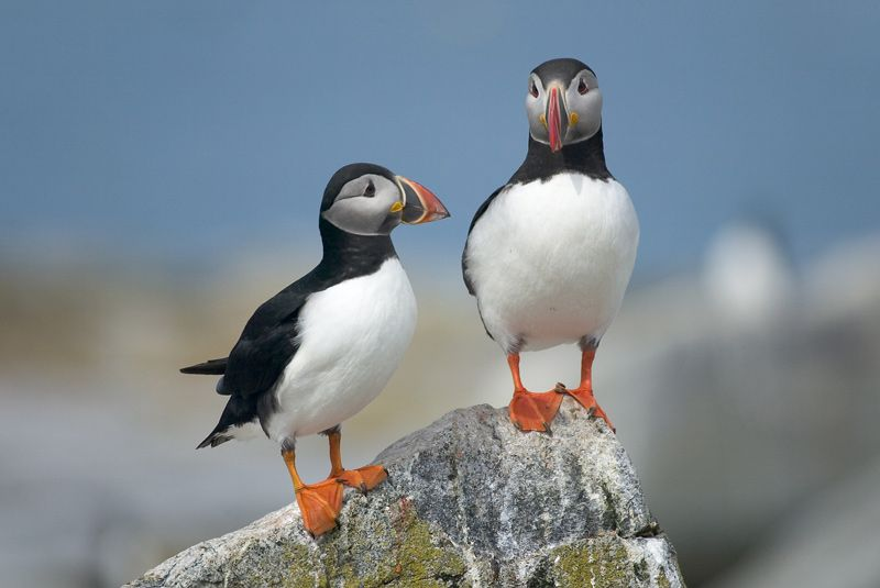 Two puffins on a rock.Brought to you by Cookies In Bloom