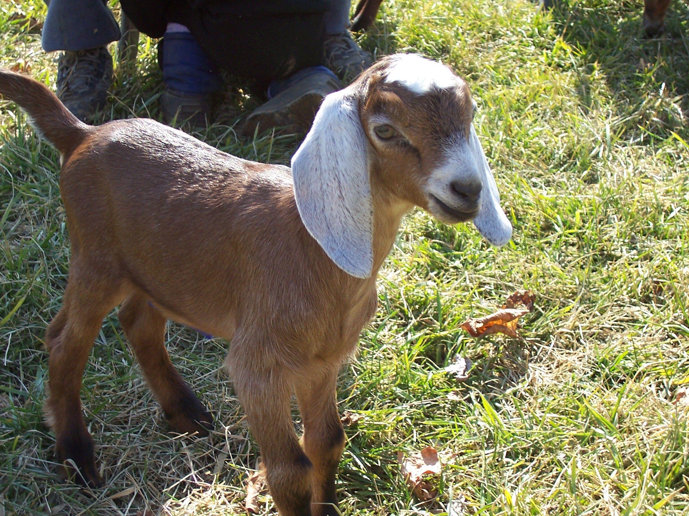 Nubian goat Goats for sale