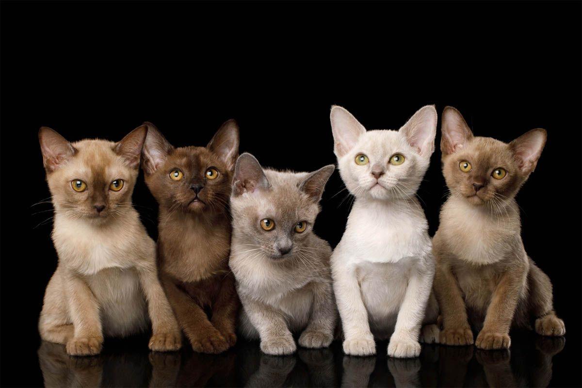 Burmese Cat Breed Profile 3 In 2020 Burmese Kittens Burmese Cat Cat Breeds