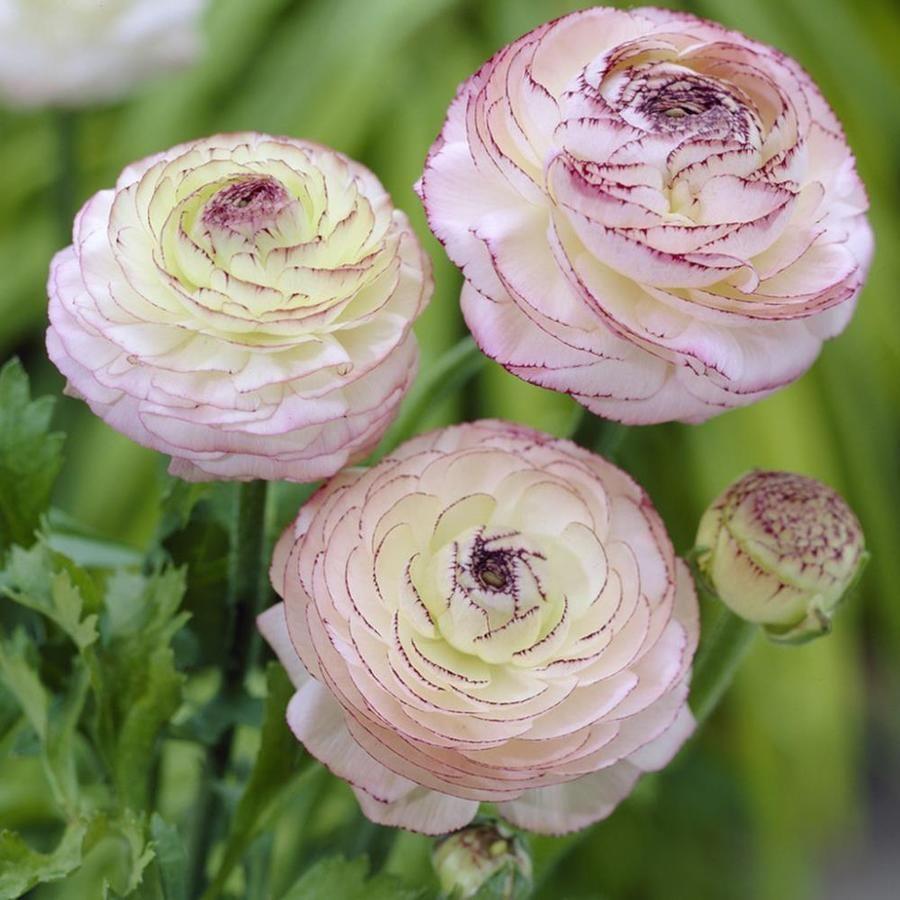 25 Ft Butter Cup Bulbs Lowes Com In 2020 Ranunculus Flowers Ranunculus Garden Planting Bulbs