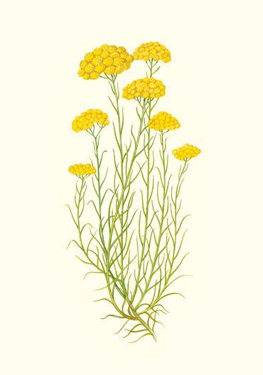 Plante aromatique h licryse ou immortelle helichrysum for Plante immortelle