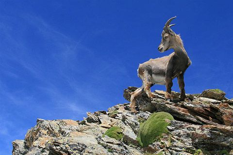 Chamois The chamois is a mammal that lives in the mountainous Alpine, Jura and Pyrenees regions of France.