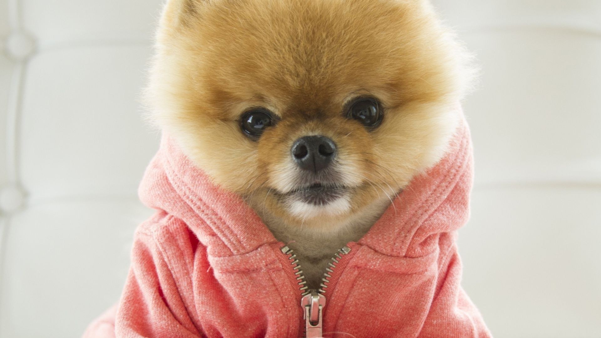 Say hello to jiff the internetus cutest dog the fuzziest most