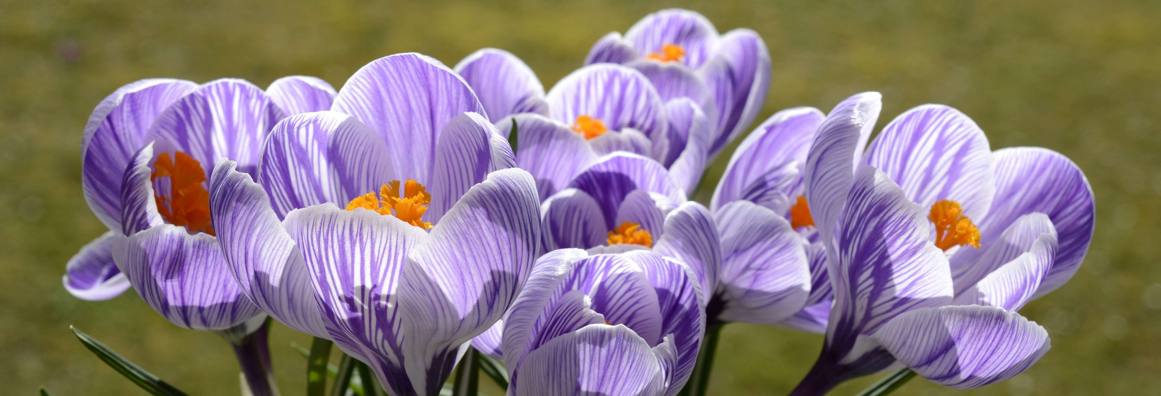Bloom Blossom Crocus Early Bloomer Flower Harbinger Of Spring