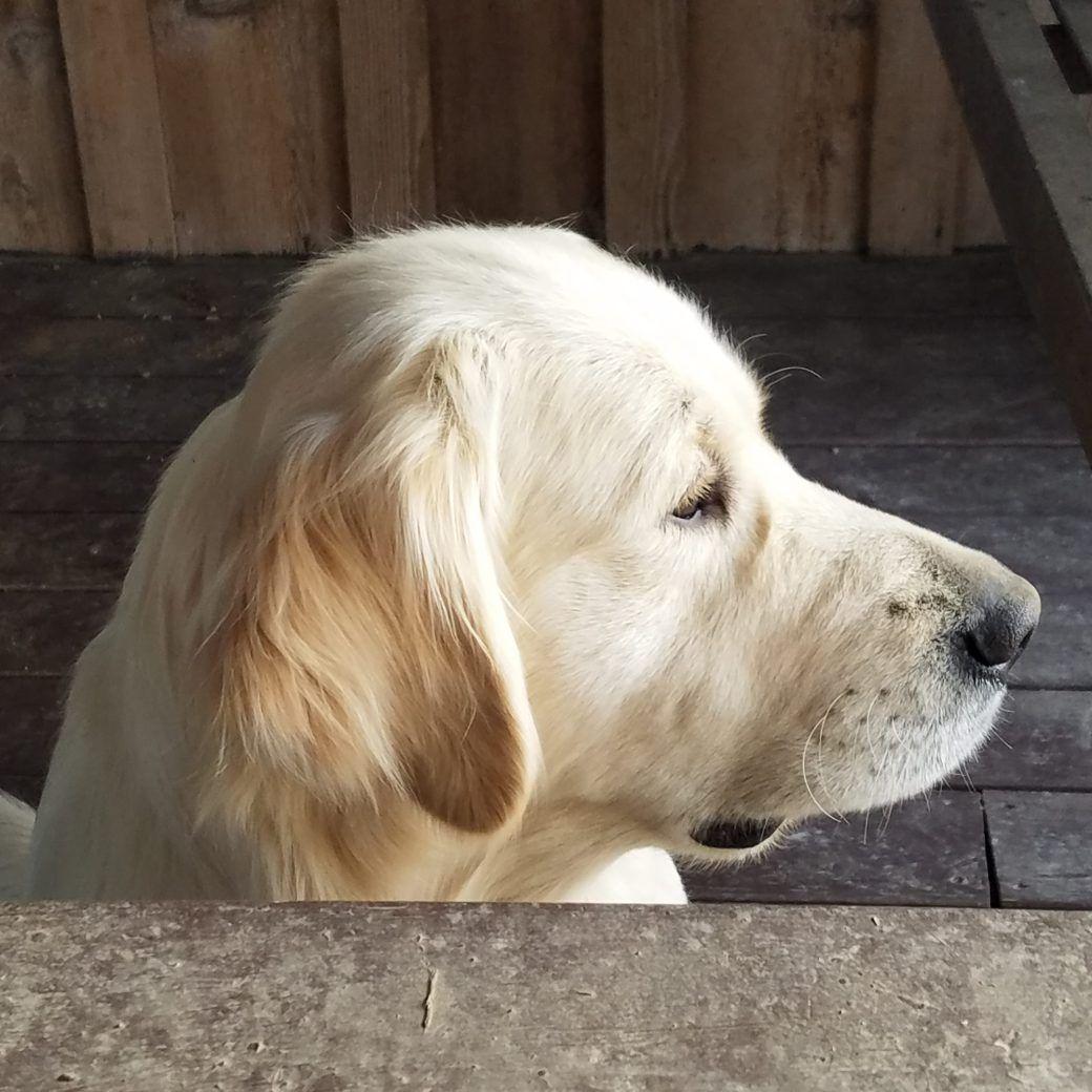Lords Bourbon Valley Farms Labrador Retriever Golden