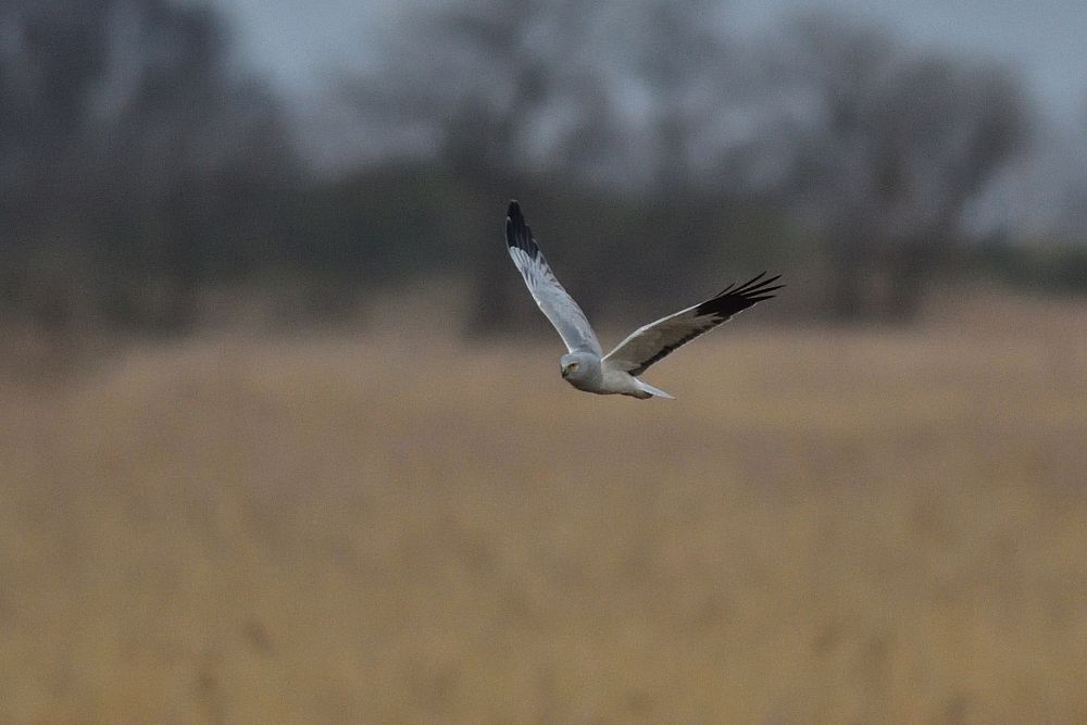 Hen Harrier above Reed Field by Mubi.A