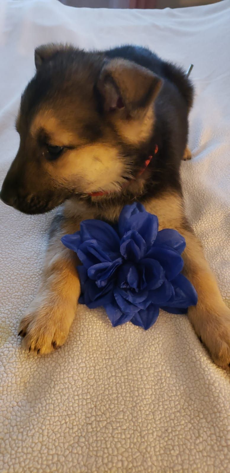 Red Collar German Shepherd Puppy For Sale Near Dayton Ohio In 2020 Puppies German Shepherd Puppies Puppies For Sale