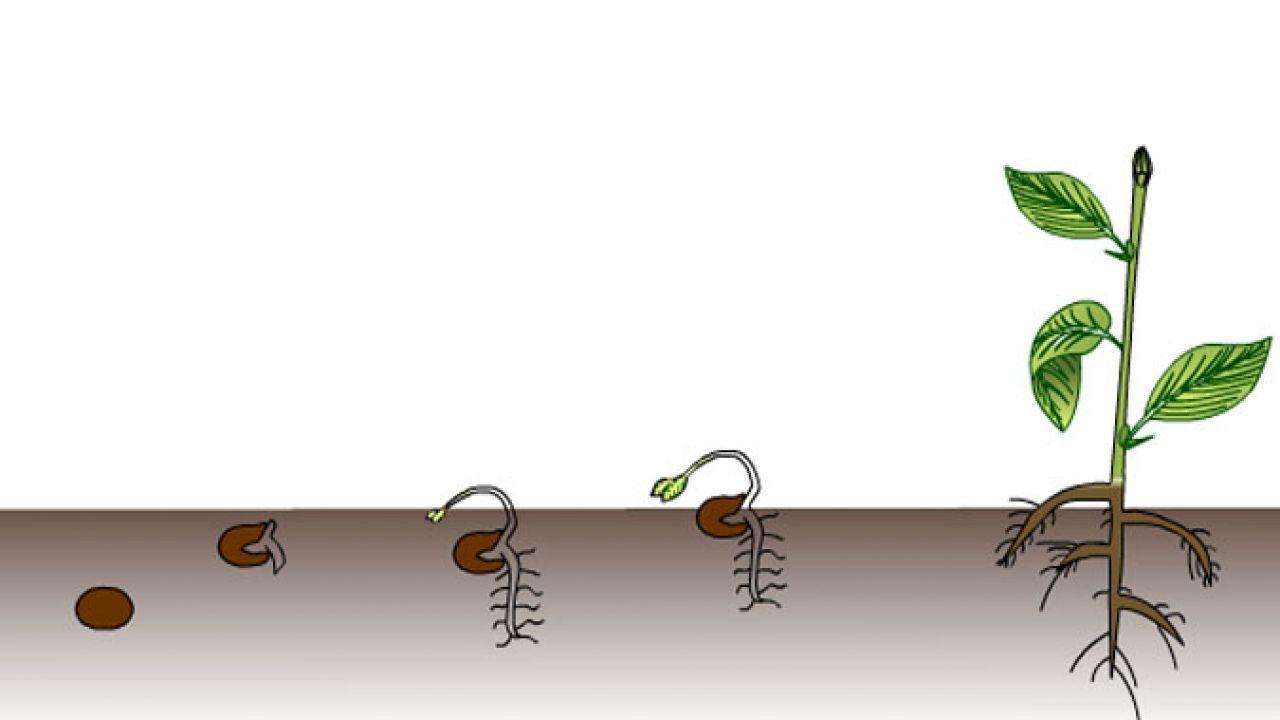 مراحل الإنبات Germination