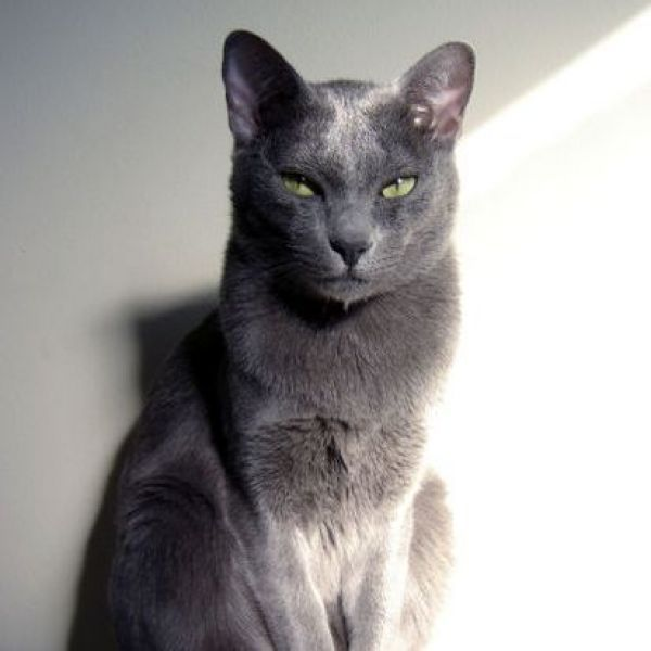 Korats Korats Are A Slate Blue Grey Short Haired Breed Of