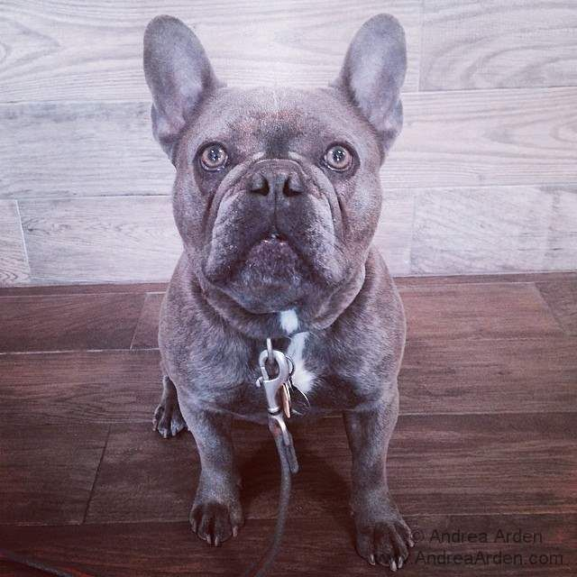 Claude Fifty Shades Of French Bulldog Grey Dogs Frenchbulldogs