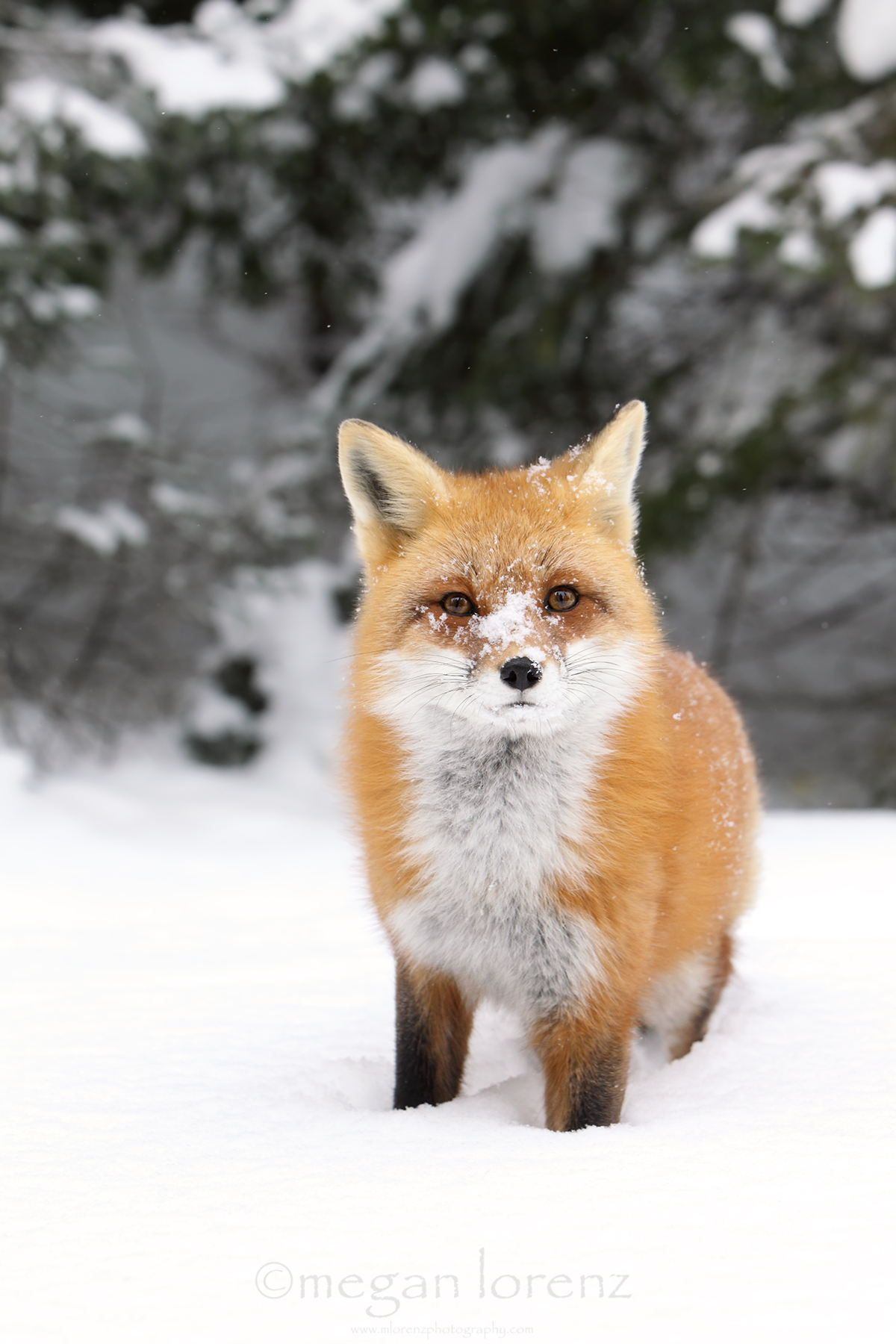 Cold Nose by Megan Lorenz ~ Wild Red Fox in Ontario, Canada**
