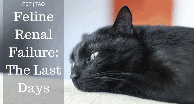 Navigating Kidney Failure In Cats Final Stages Pet Tao Holistic Pet Products Cat Renal Failure Kidney Failure Chronic Renal Failure