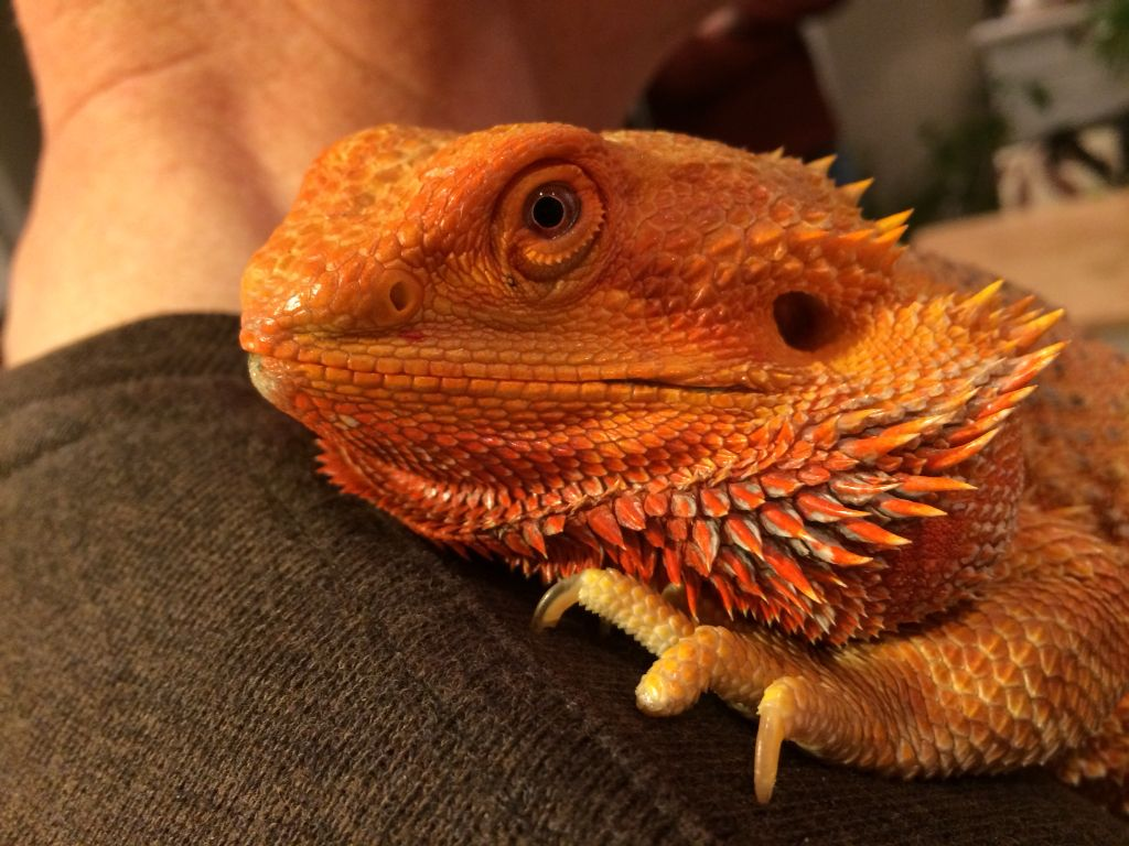 How Do I Tell The Gender Of A Bearded Dragon