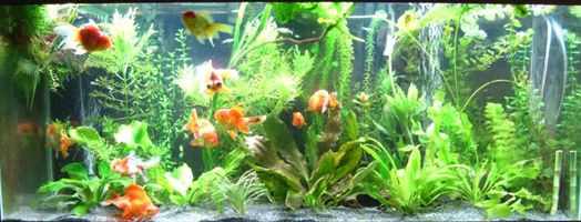 Sand As A Substrate Fish Tank Plants Goldfish Aquarium Goldfish Tank