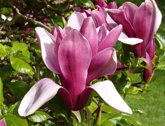 Large Deep Pink Magnolia Flowers Magnolia Flower Flowers Magnolia