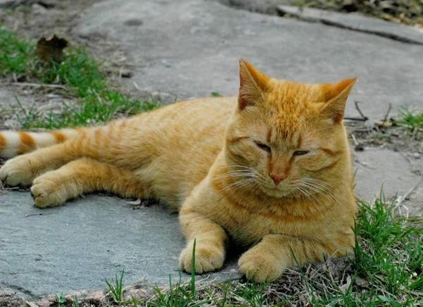 his big orange Tabby cat was lost on 28th November in