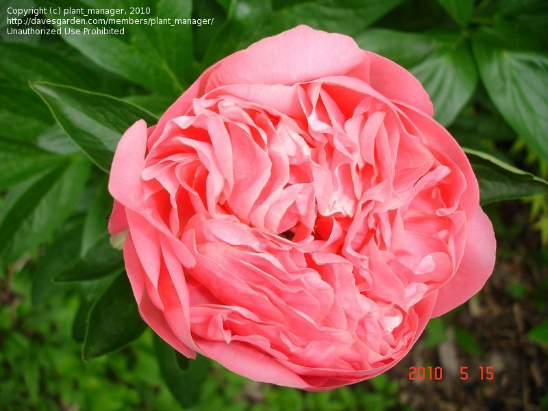 Full size picture of Chinese Peony, Garden Peony 'Pink Hawaiian Coral' (Paeonia lactiflora)