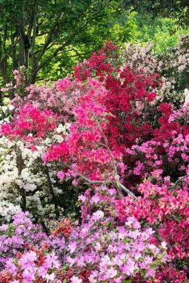 Gartenazalee Japanische Azalee Und Knap Hill Azalee Azaleen Japanischer Garten Japanische Pflanzen