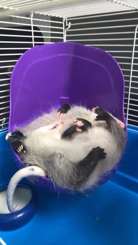 Pin On Possum