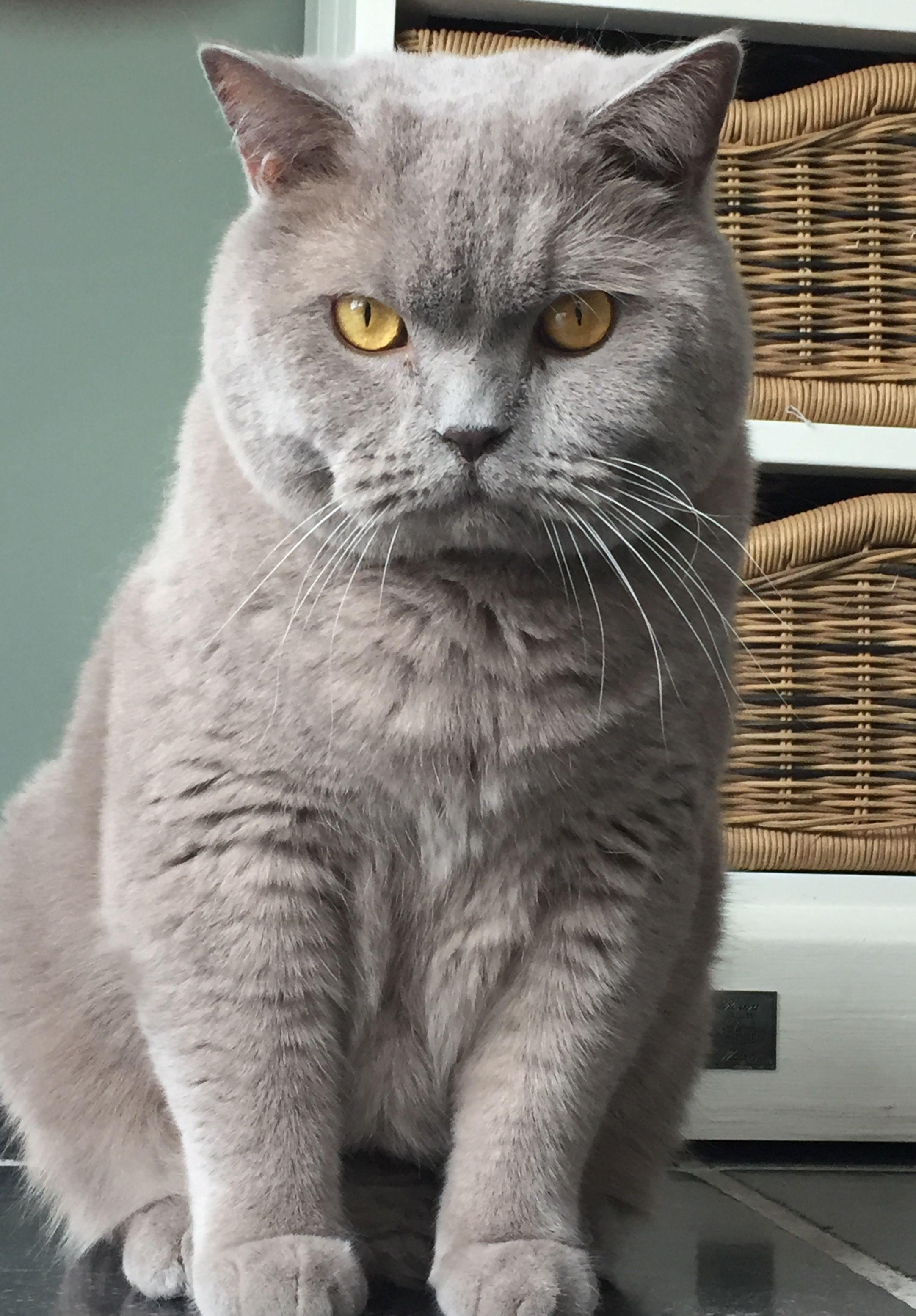 Britse Korthaar Lilac Zimba Britisch Kurzhaar Kurzhaar Katzen