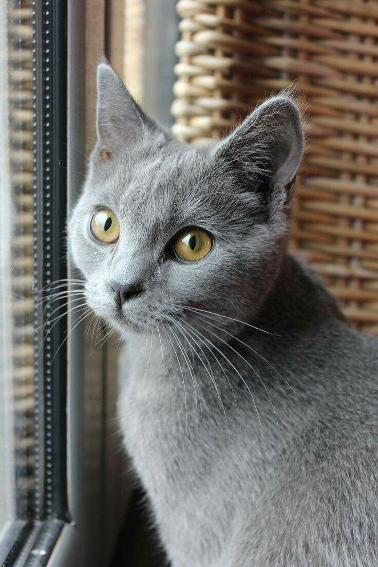 Pin by Judie Rothermel on amo a los gatos | Russian blue