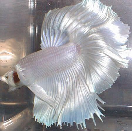 Platinum Rose Tailed Half Moon Betta Betta Fish Betta Fish Tank
