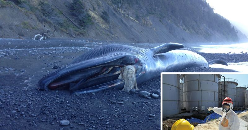 Scientists Link Massive Whale Deaths to This Nuclear Tragedy