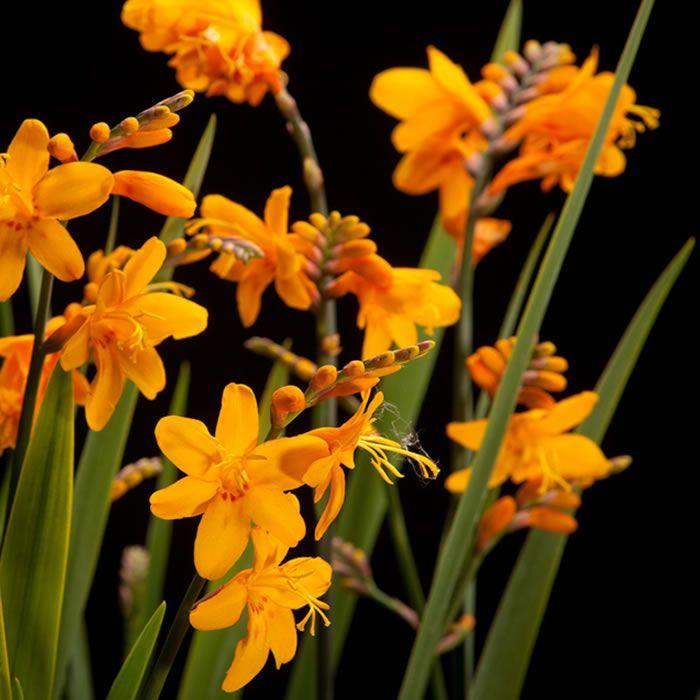 Certi Crocosmia Columbus oranje bloemen boeket Certi