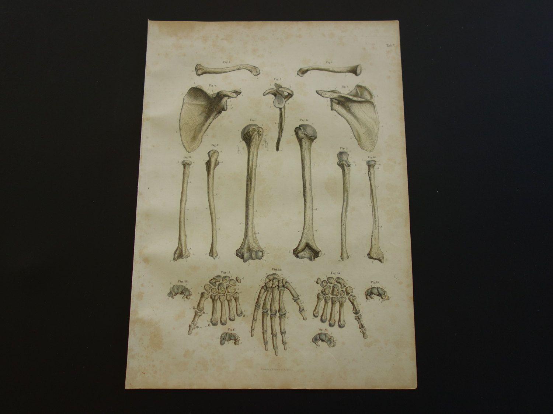 150+ years old anatomical engraving - Beautiful original antique ...